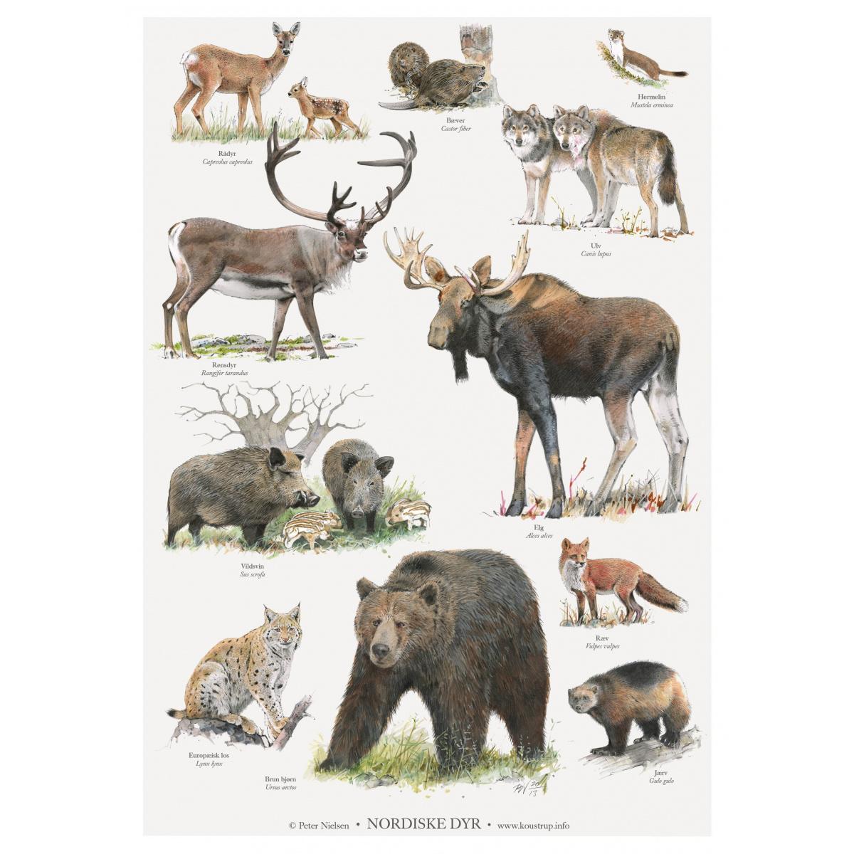 Koustrup & Co. plakat i A2 - nordiske dyr