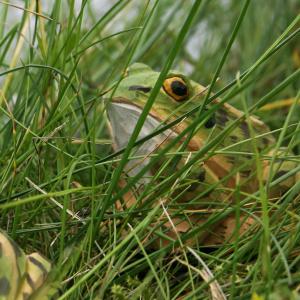Wildlife Garden trædyr - butsnudet frø, lille