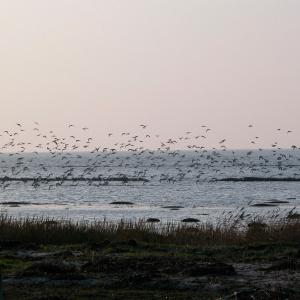 Wildlife Garden træfugl - strandskade