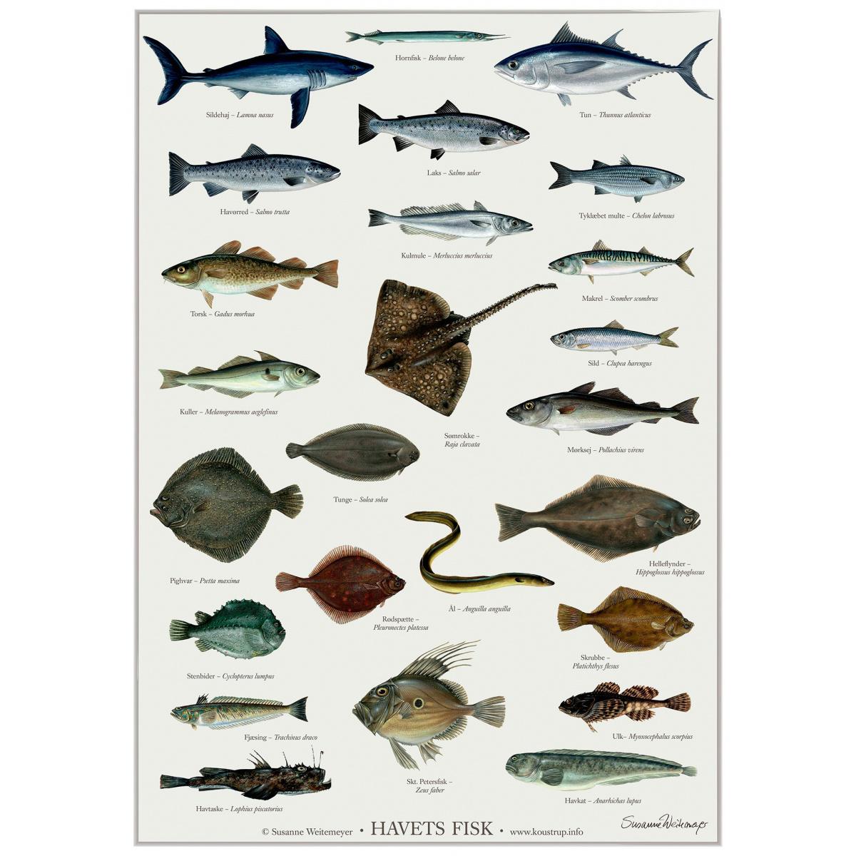 Koustrup & Co. plakat i A2 - havets fisk