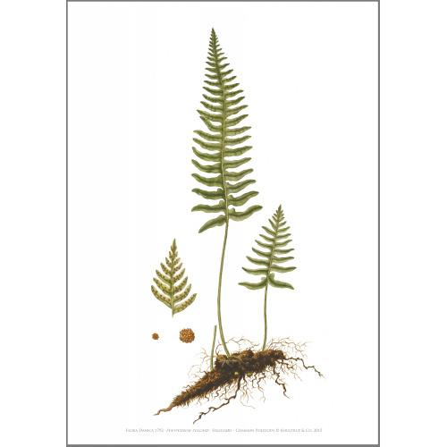 Flora Danica kunsttryk i A2 - engelsød