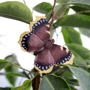 Wildlife Garden sommerfugl - sørgekåbe