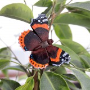 Wildlife Garden sommerfugl - admiral