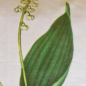 Flora Danica pude - liljekonval