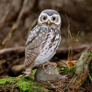 Wildlife Garden træfugl - kirkeugle