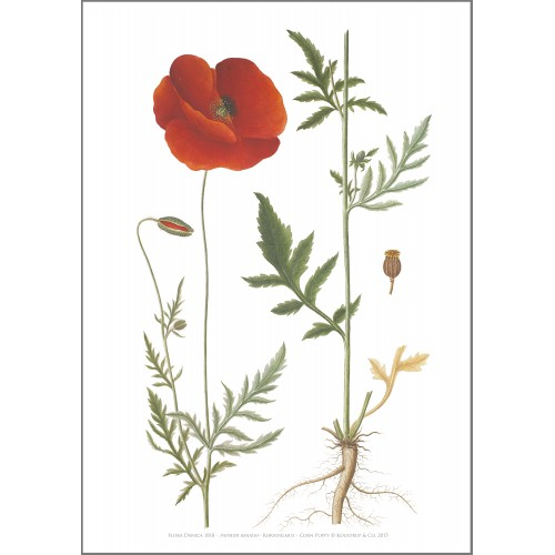 Flora Danica kunsttryk i A2 - kornvalmue
