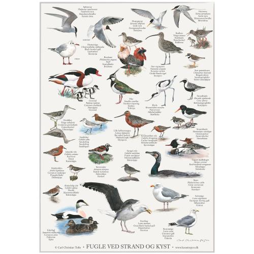 Koustrup & Co. plakat i A2 - fugle ved strand og kyst