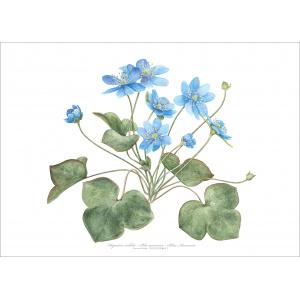 Flora Danica kunsttryk med blå anemone - flere str.
