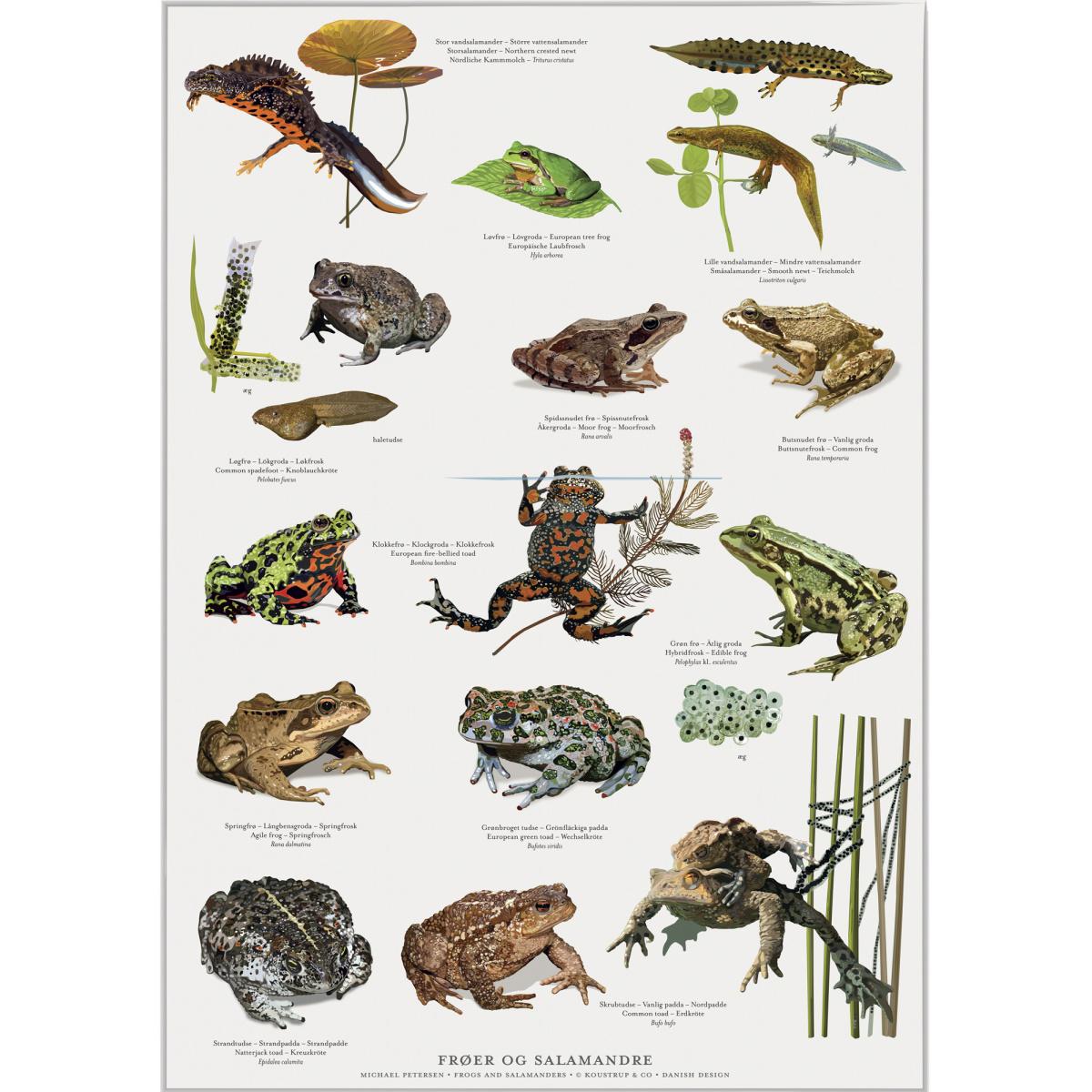 Koustrup & Co. plakat i A2 - frøer og salamandre