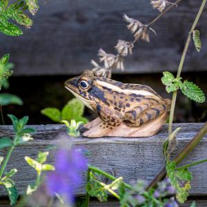 Wildlife Garden trædyr - spidssnudet frø